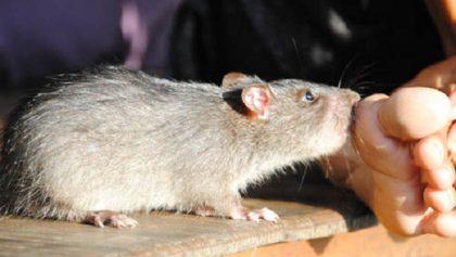 chuột cắn, đừng chủ quan khi bị chuột cắn, bệnh do chuột cắn