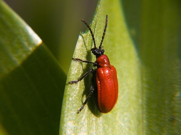 Chữa u xơ tử cung bằng cánh kiến đỏ