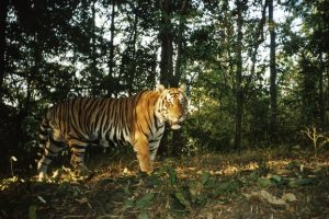 Mơ thấy hổ đánh bao nhiêu trong xổ số miền bắc