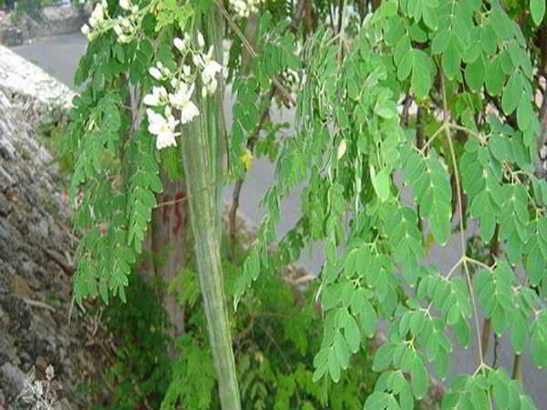 Tìm hiểu các tác dụng hữu ích bất ngờ của cây chùm ngây