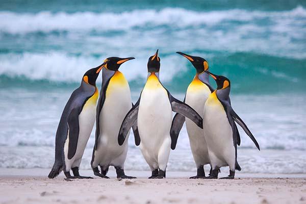 Giải mã giấc mơ thấy chim cánh cụt mang ý nghĩa gì 1