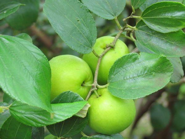 Mơ thấy quả táo ta đánh con gì chính xác?