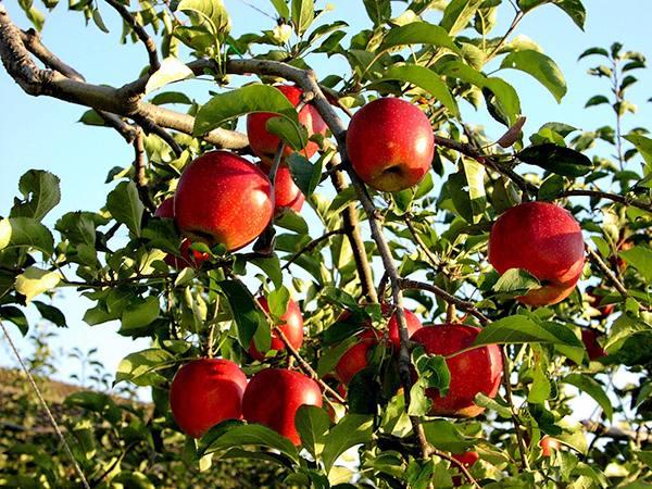 Ý nghĩa giấc mơ thấy quả táo là điềm báo lành hay dữ?
