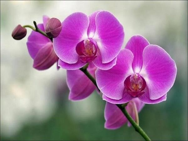 Mơ thấy hoa lan